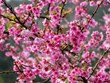 Cerezo japonés florece en provincia norvietnamita