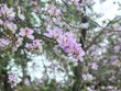 (Videos) Embellecen flores de bauhinia montañas del noroeste de Vietnam