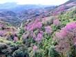 (Televisión) Brotan las flores Pang To Day en el noroeste de Vietnam