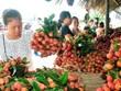 (Televisión) Comercializan con éxito cerca de 30 toneladas de lichi vietnamita en billetera digital
