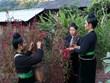 Características culturales únicas en fiesta del Año Nuevo de Celosia del grupo étnico Cong