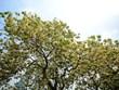 Árbol de 300 años, tesoro de una aldea vietnamita