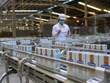 Empresa vietnamita abre nuevo año con gran lote de leche a China