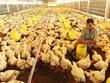 Pollo vietnamita penetrará en mercado japonés