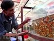 Ciudad Ho Chi Minh propone ingresar 20 millones de dólares por exportación de peces ornamentales