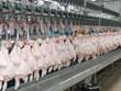 Registra Tailandia significativo aumento de sus ventas de pollo  a China