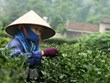 Analizan oportunidades de cooperación entre Vietnam y China en producción de té y café