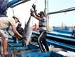 Registran tendencia alcista exportaciones de atún enlatado de Vietnam