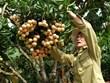 Temporada de cosecha del lichi de Luc Ngan en provincia vietnamita de Bac Giang