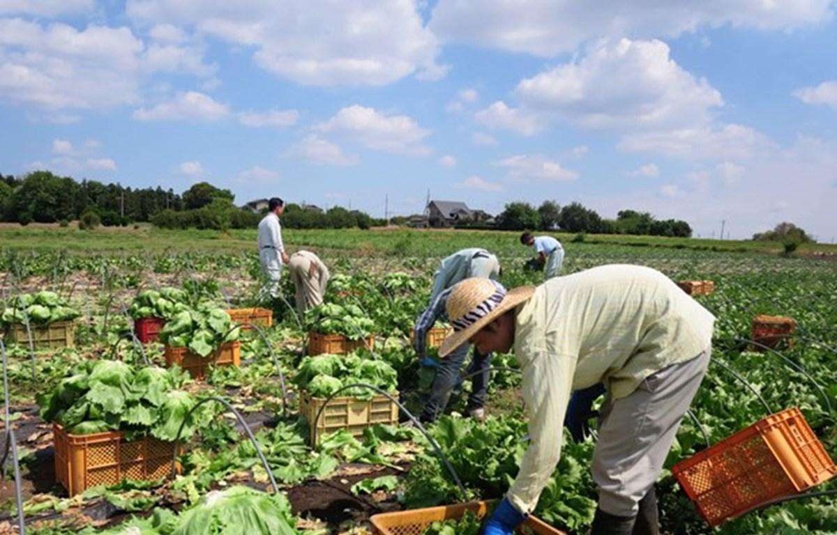 Provincia japonesa de Ibaraki, destino favorito para aprendices vietnamitas