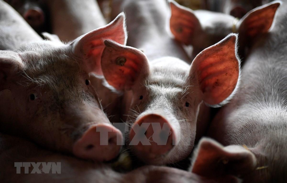 Indonesia: Mueren cientos de cerdos en Bali por una enfermedad misteriosa