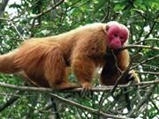 Reciben valioso ejemplar de macaco rabón en Quang Binh