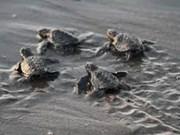 Vietnam elabora plan de acción para proteger tortugas marinas