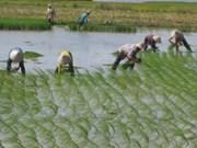Vietnam experimenta producción arrocera con alta tecnología de Japón