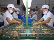 Vietnam aumenta exportaciones de anacardo