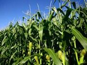 Empresas vietnamita y francesa cooperan en el cultivo de maíz