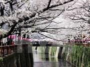 Cerezos japoneses florecen en Hanoi