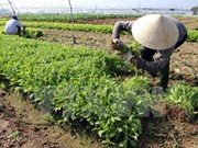 Localidades vietnamita y japonesa colaboran en agricultura