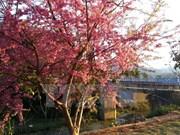 Cerezos japoneses florecen en Sa Pa