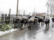Más de 12 mil 700 reses mueren por frío en el Norte de Vietnam