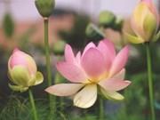 Flor de loto, símbolo de espíritu y elegancia de los hanoyenses
