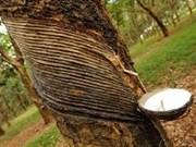 Aumenta producción de caucho natural de Malasia