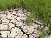 Sequía y salinización amenazan al cultivo de arroz en provincia deltaica