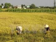 Duplican exportaciones arroceras de Vietnam en primeros dos meses