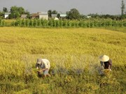 Lanza Vietnam nuevas variedades de arroz resistente a salinidad