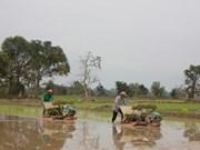 Laos proyecta exportar un millón de toneladas de arroz