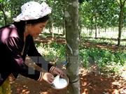 Indonesia reducirá exportación de caucho natural