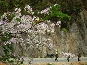 Fiesta de Flor de Bauhinia en Dien Bien promueve el turismo