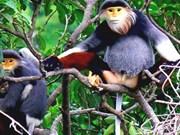 El duc de canillas rojas será símbolo de biodiversidad de Da Nang