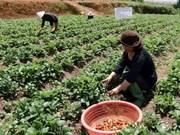 Agroturismo en las granjas de fresas en Da Lat