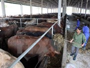 Empresas japoneses interesadas en agricultura vietnamita