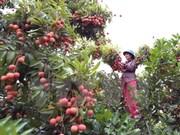 Provincia de Vietnam exporta más de 32 mil toneladas de lichi