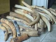 Aduana de Ciudad Ho Chi Minh detecta tráfico de colmillos de elefantes