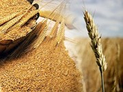 Ofrece FAO respaldo a campesinos vietnamitas en zonas afectadas por sequía