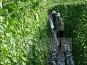 Invierte empresa nipona en proyecto de verduras limpias en Vietnam