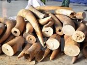 Descubren 700 kilogramos de colmillos de elefantes