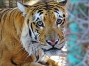Asia debe cerrar todos los criaderos de tigre para 2019