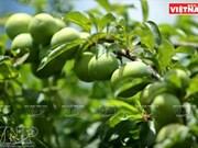 Fiesta de la cosecha de ciruelas en Moc Chau