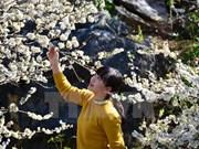 Disfrutando belleza de flor de ciruelo en montañas norteñas de Vietnam