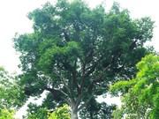 [Fotos] Extraño árbol con 100 colmenas de abejas en Vietnam