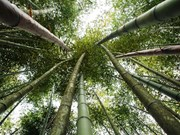 [Fotos] Pintoresco bosque de bambú en provincia vietnamita