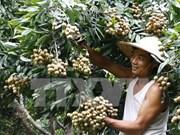 """Un viaje a Hung Yen, el """"reino del longán"""""""