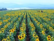 [Fotos] Campos de flores de girasol en Nghe An: lugar ideal para fotógrafos