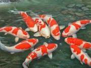 Cría de peces ornamentales reporta alto ingreso