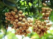 [Foto] Cosecha de longan de provincia norvietnamita de Hung Yen