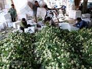 [Fotos] Cultivo de anón de Lang Son totalizará alrededor de 30 mil toneladas